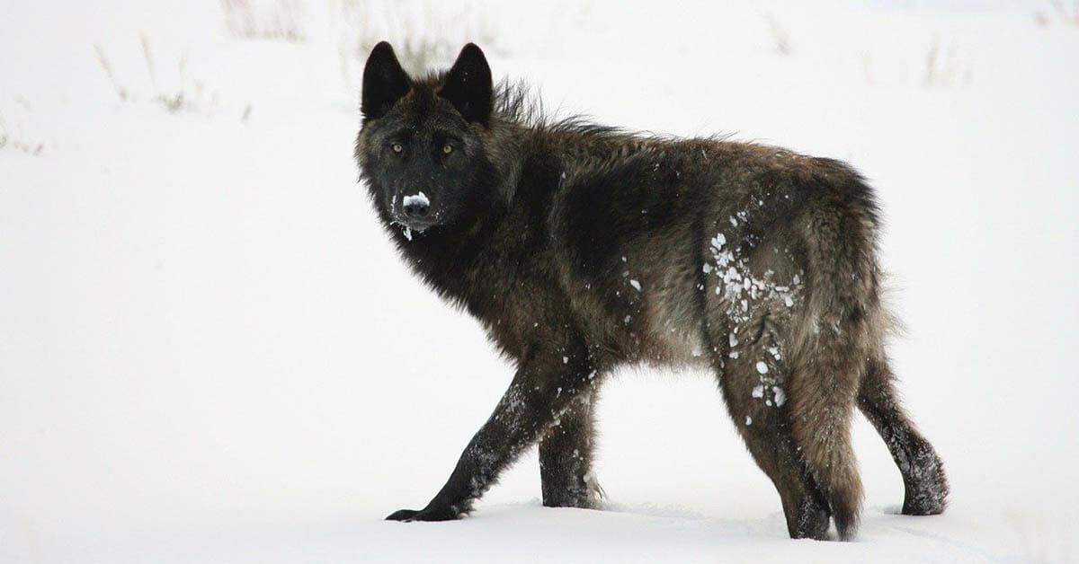 grey wolves colorado lisa bennett kim monson show